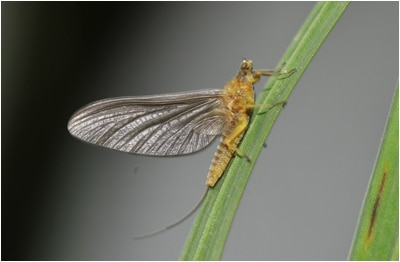 Serratella Ignita