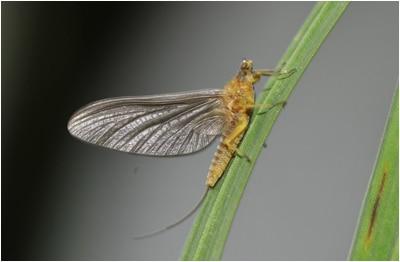 Serratella Ignita