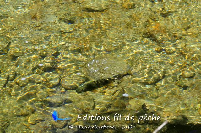 Une truite fario vient de gober un insecte dérivant à la surface de l'eau