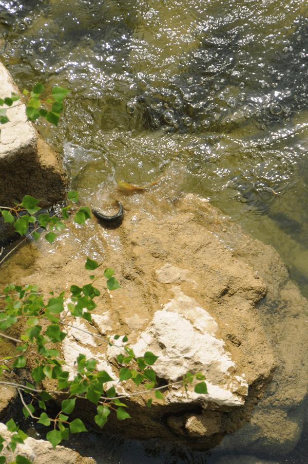 grosse truite en chasse sur la basse rivière d'Ain