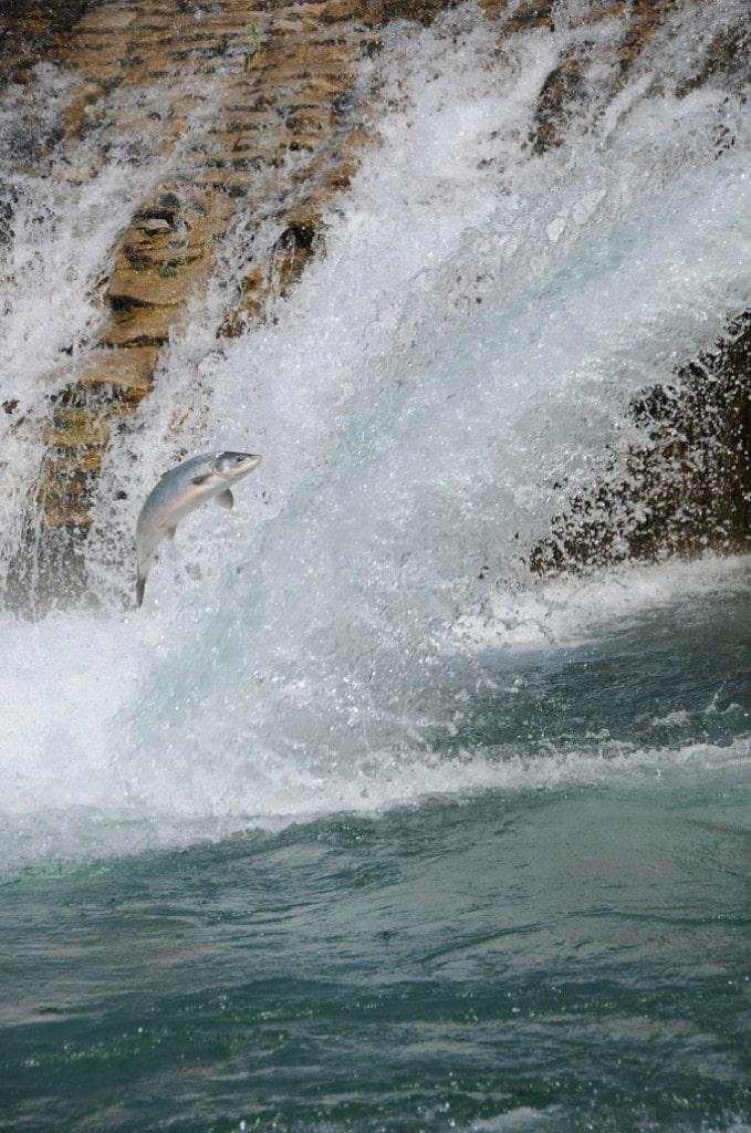 saumon Atlantique Salmon jump