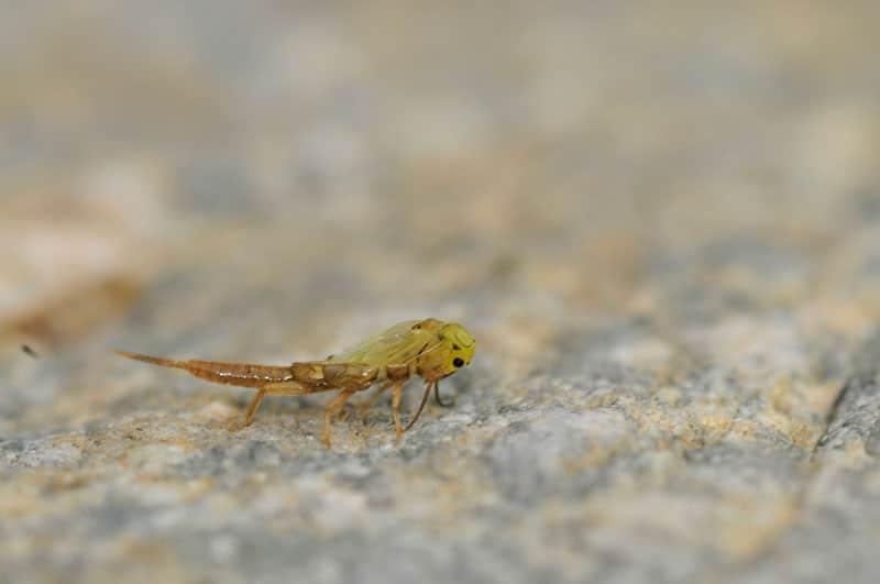plecoptere-jaune