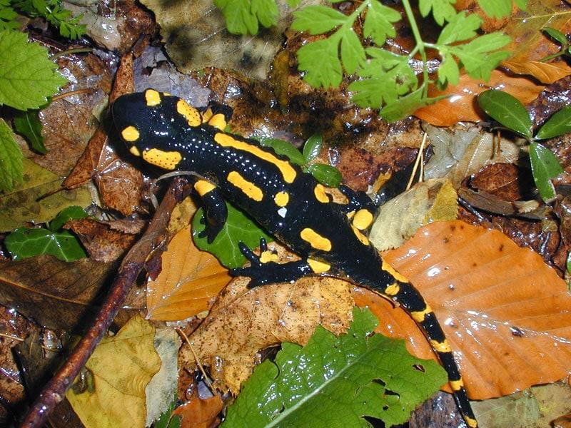 alamandre tachetée (Salamandra salamandra)