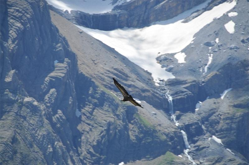 vautour fauve Gavarnie